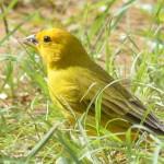 Sicalis flaveola, o canário da terra
