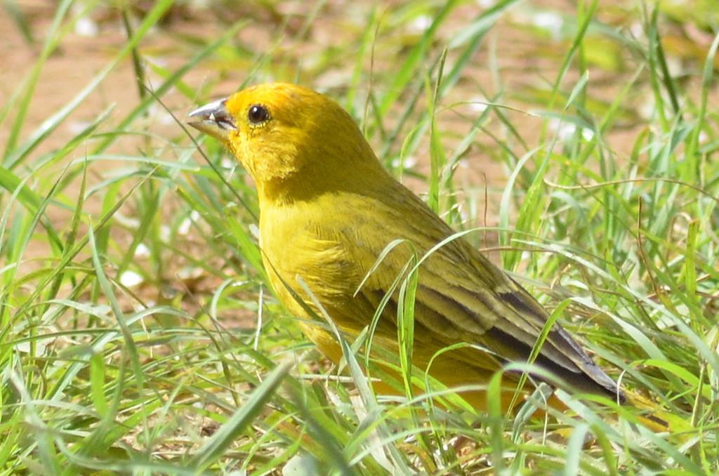 aves-sicalis-flaveola(canario)-limo-verde.pro.7a6b78 0110
