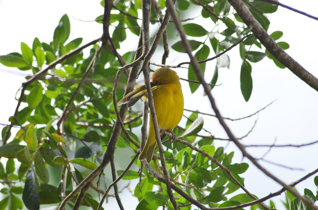 aves-sicalis-flaveola(canario)-limo-verde.pro.7a6b78 0113