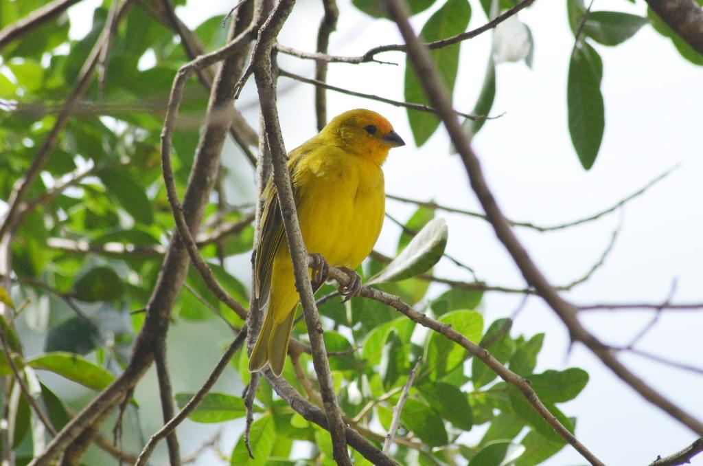 aves-sicalis-flaveola(canario)-limo-verde.pro.7a6b78 0115