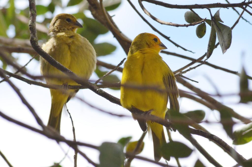 aves-sicalis-flaveola(canario)-limo-verde.pro.7a6b78 0129